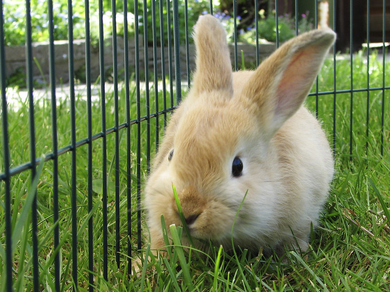 Fluffy bunny in lawn enclosure